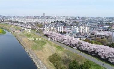 【東京都狛江市④ シティプロモーション動画】「Sakura ×Tama-River × Komae」 cherry blossoms in Komae,Tokyo,Japan